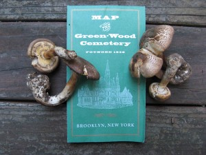 Agaricus sp. sect. xanthodermatae / Greenwood Cemetery