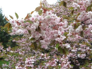 Prunus sp. (B)