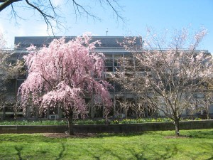 weeping cherry (left), autumn cherry (right)