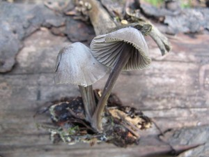 Mycena alcalina - smells like bleach