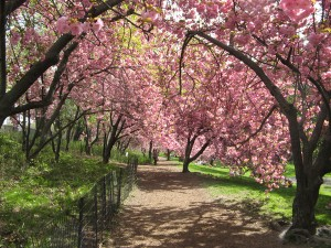 "kwanzan cherry ""arbor"" in west 80"