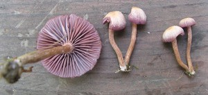 Laccaria amethystina – Version 2
