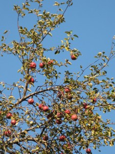 WildAppleTree