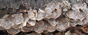 turkey-tail